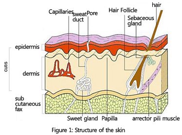 Epidermal stem cells